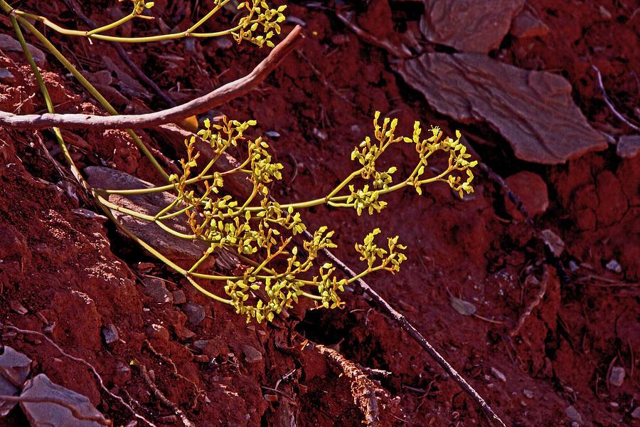 Desert Flower Red Rock, Yellow Flowers Kanab Thomas Trail Photograph by David Frederick
