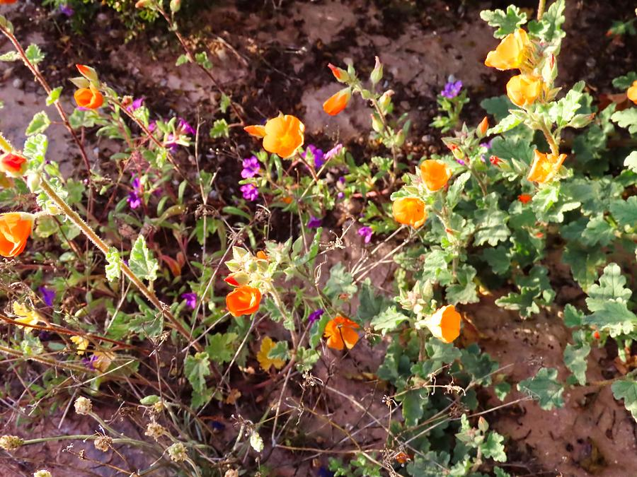 Desert Globemallow and Notch-Leaf Scorpion Weed by Judy Kennedy