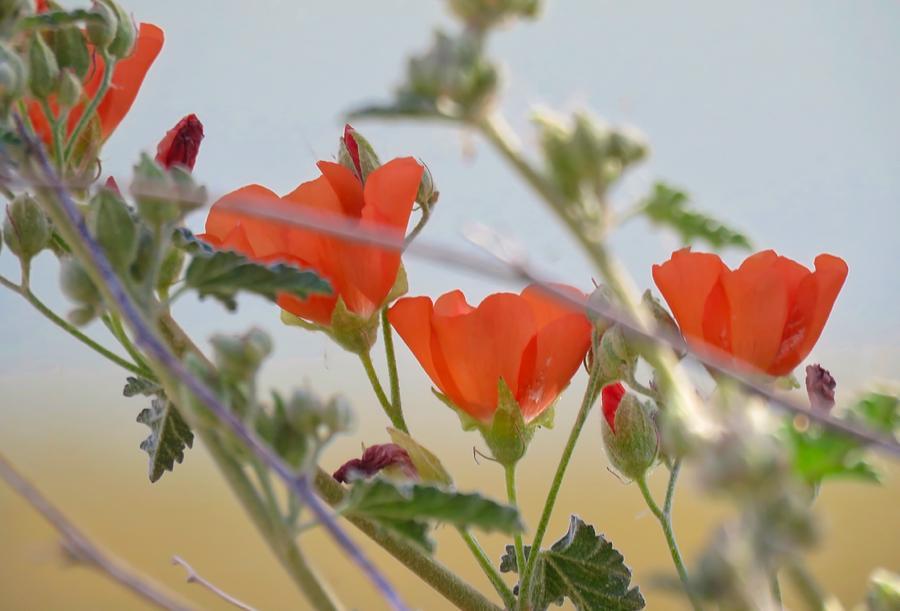 Desert Globemallow Bouquet by Judy Kennedy