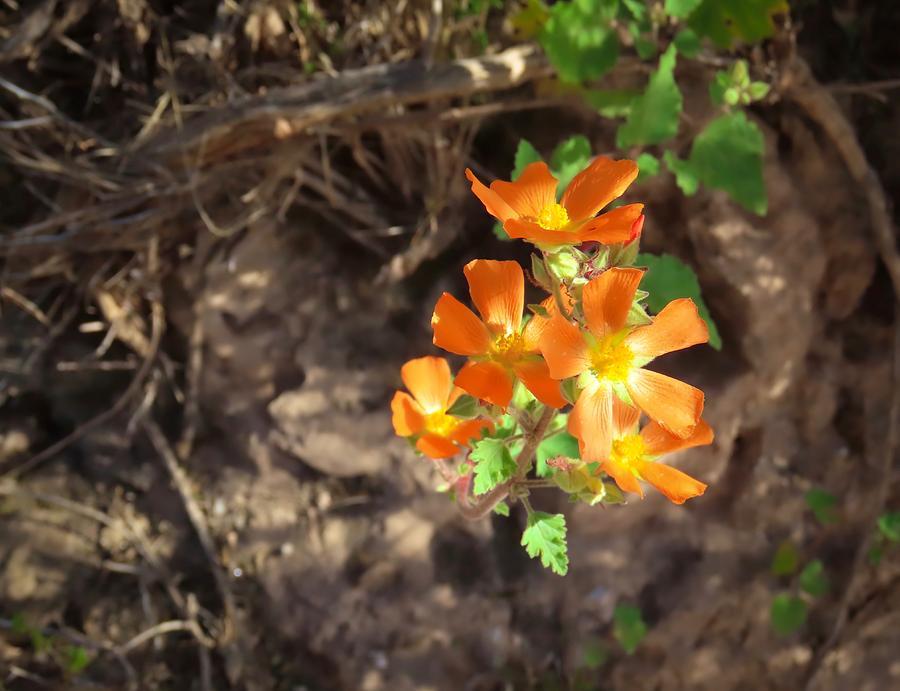 Desert Globemallow Radiance by Judy Kennedy