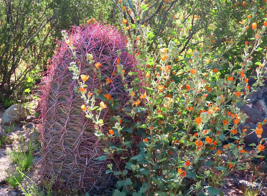 Desert Globemallows and Red Barrel Cactus by Judy Kennedy