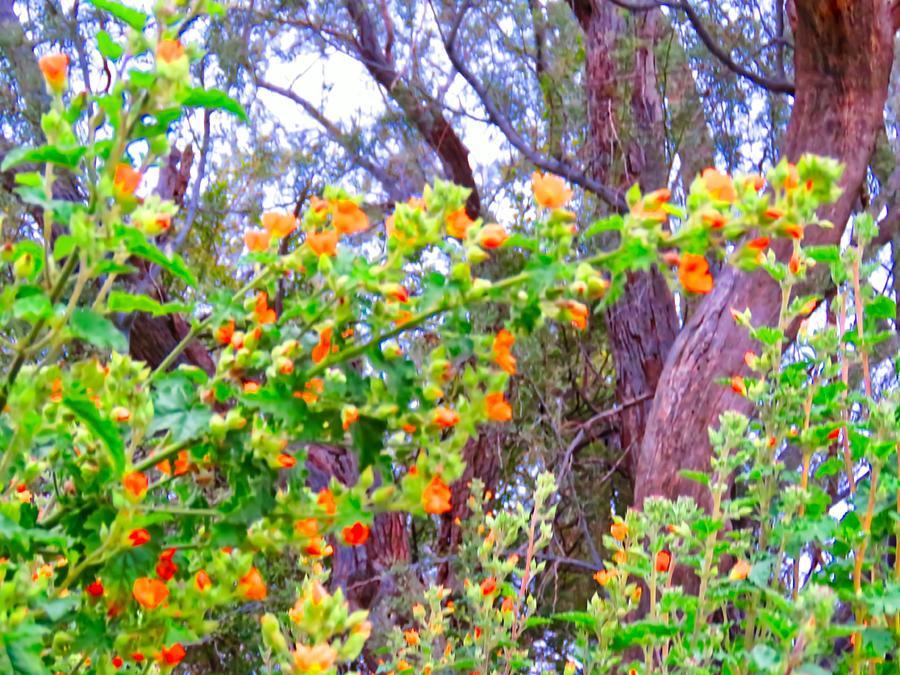 Desert Globemallows Under Ironwood Tree by Judy Kennedy