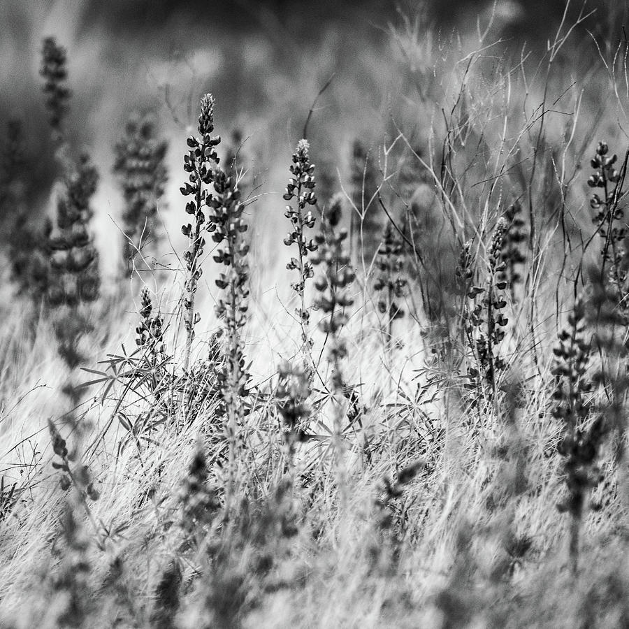 Desert Lupines and Grass by Juliana Swenson