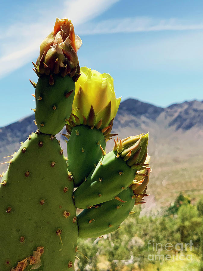 Desert Prickly Pear by Katherine W Morse