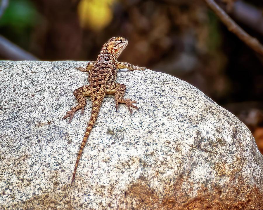 Desert Spiny Lizard H1809 Photograph