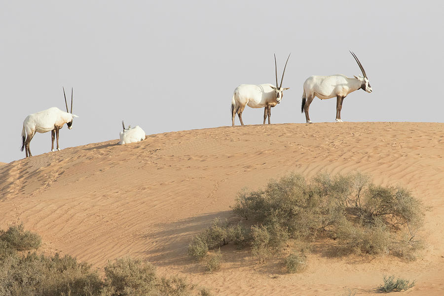 Abu Dhabi Photograph - Desert With Sand by Tom Norring