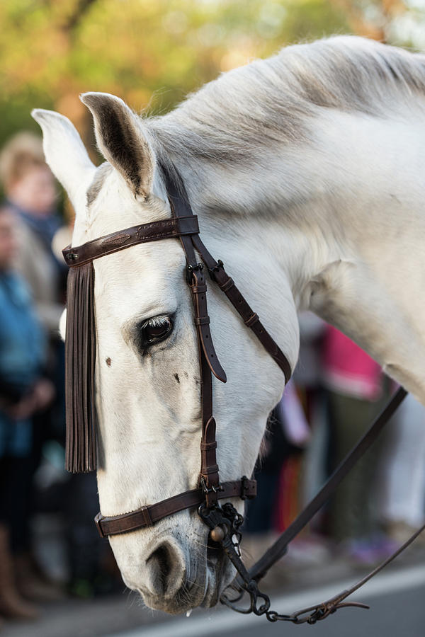 Detail Of The Head Of A White Horse During The Celebration Of The Feast Of Saint George And The Drag Photograph