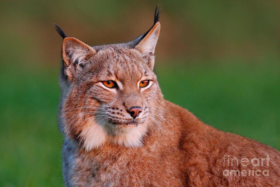Big Photograph - Detail Portrait Of Lynx, With Beautiful by Ondrej Prosicky