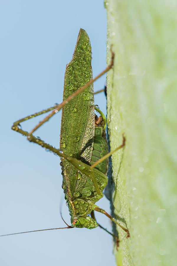 Dew and Katydid by Robert Potts