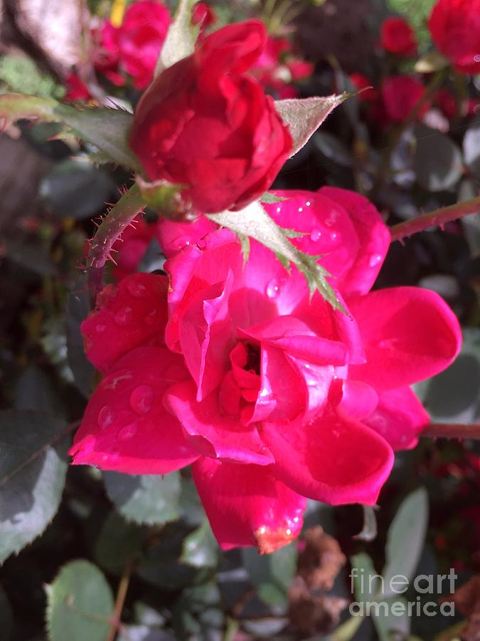 Dew Rose Photograph