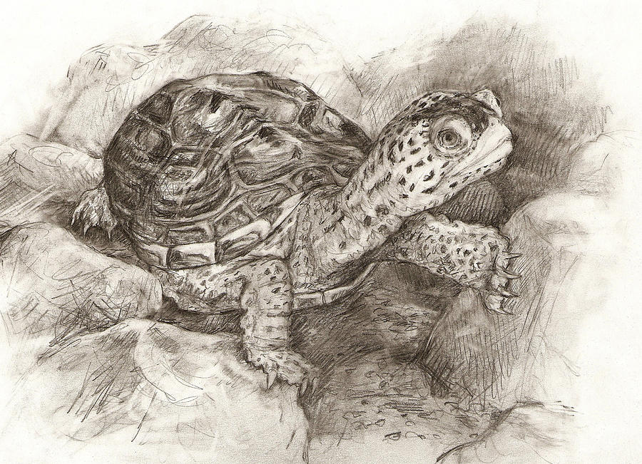Diamondback Terrapin by Abby McBride
