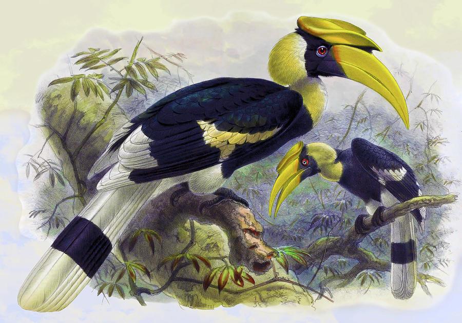 Dichoceros Bicornis Hornbill Bird Drawing