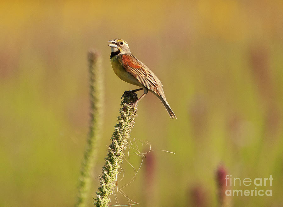 Animals Photograph -  Dickcissel Bird Perched At The Presson-oglesby Preserve. by Michael Vance Pemberton