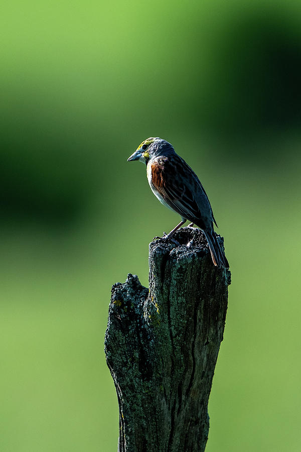 Dickcissel on Post II by Jeff Phillippi