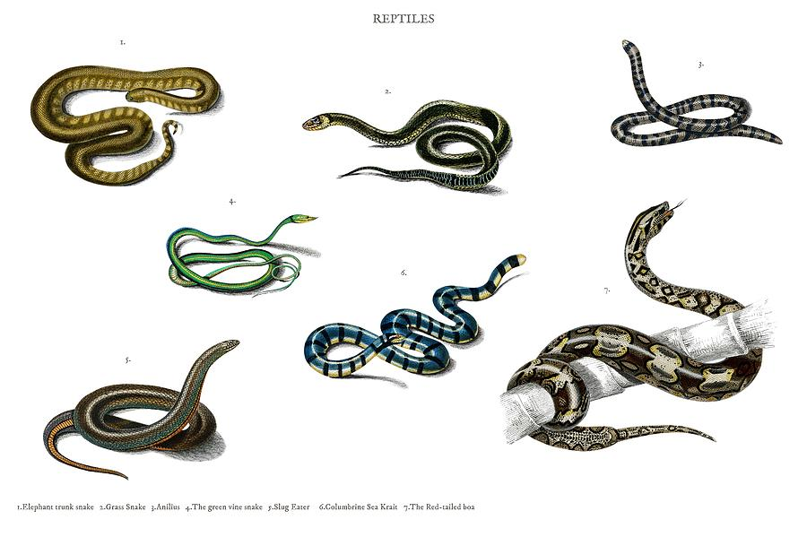 Different Types Of Snakes Illustrated By Charles Dessalines D Orbigny  1806-1876  4 Painting