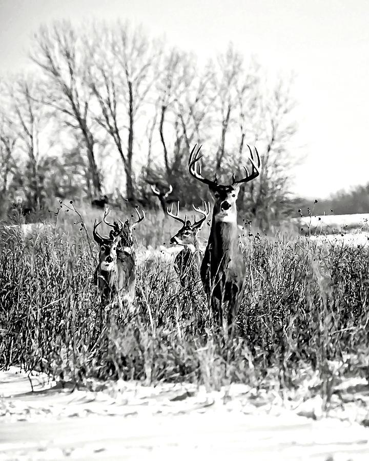 Bucks On The Move - Bw Photograph