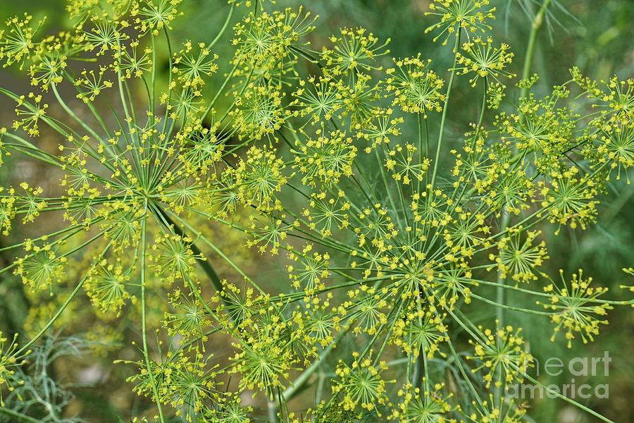 Nature Photograph - Dill (anethum Graveolens) In Blossom by Dr. Nick Kurzenko/science Photo Library