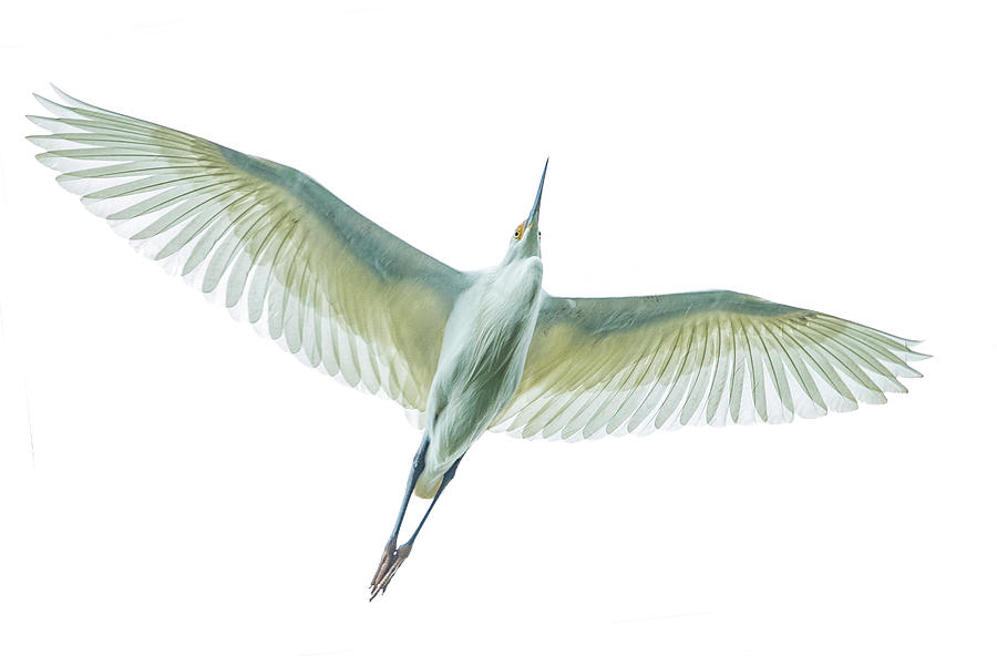 Horizontal Photograph - Dimorphic Egret Egretta Dimorpha by Panoramic Images