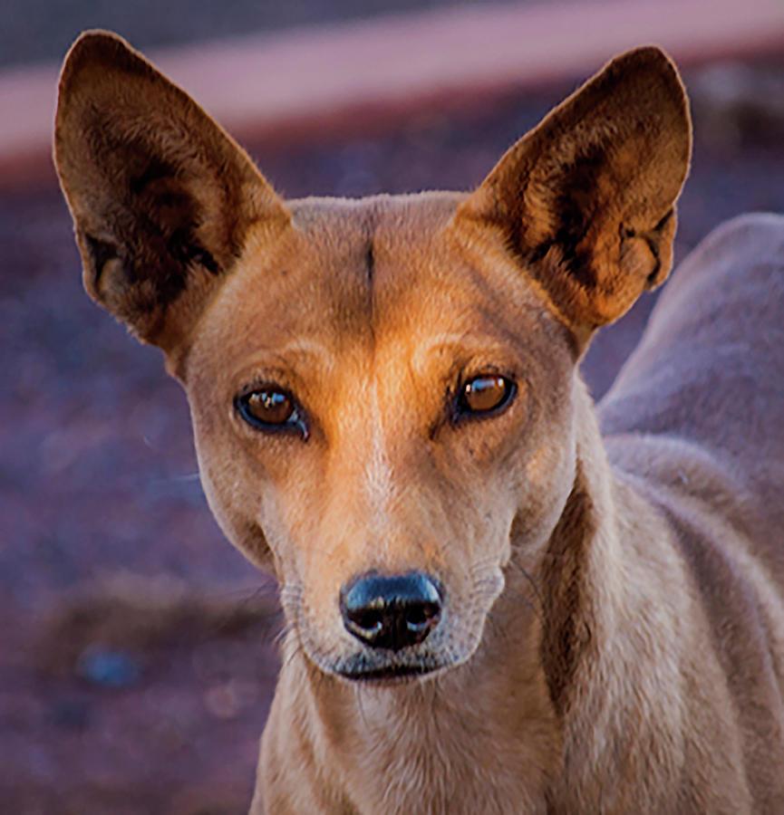 Dingo Photograph - Dingo by Mark Vegera
