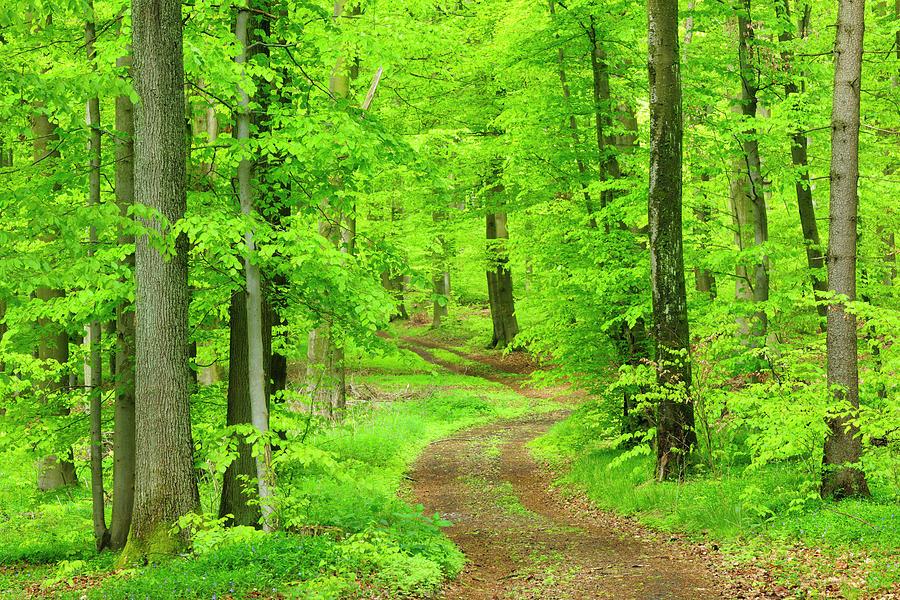 Dirt Road Through Lush Beech Tree Photograph by Avtg