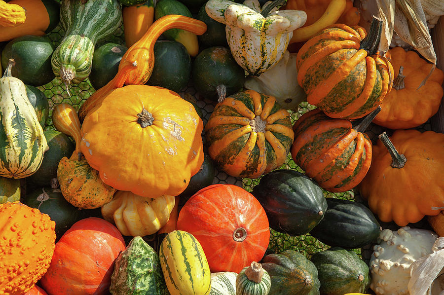 Display Of Colorful Ornamental Gourds And Pumpkins 2 by Jenny Rainbow