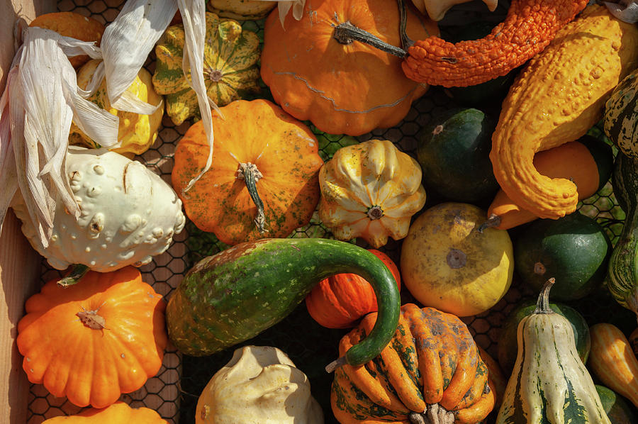 Display Of Colorful Ornamental Gourds And Pumpkins 4 by Jenny Rainbow