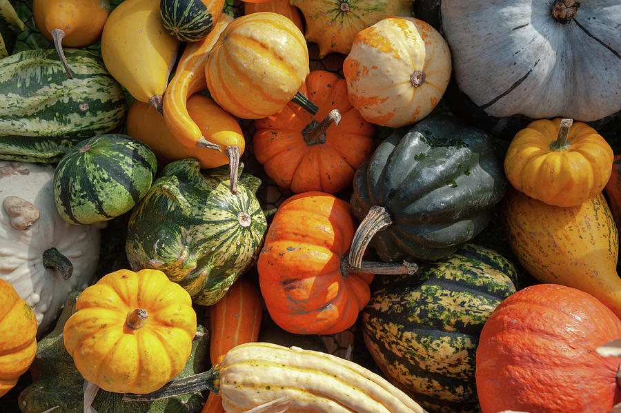 Display Of Colorful Ornamental Gourds And Pumpkins 6 by Jenny Rainbow