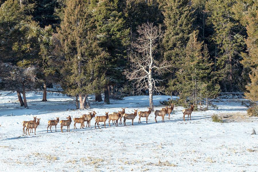 Distant Winter Elk Herd Photograph
