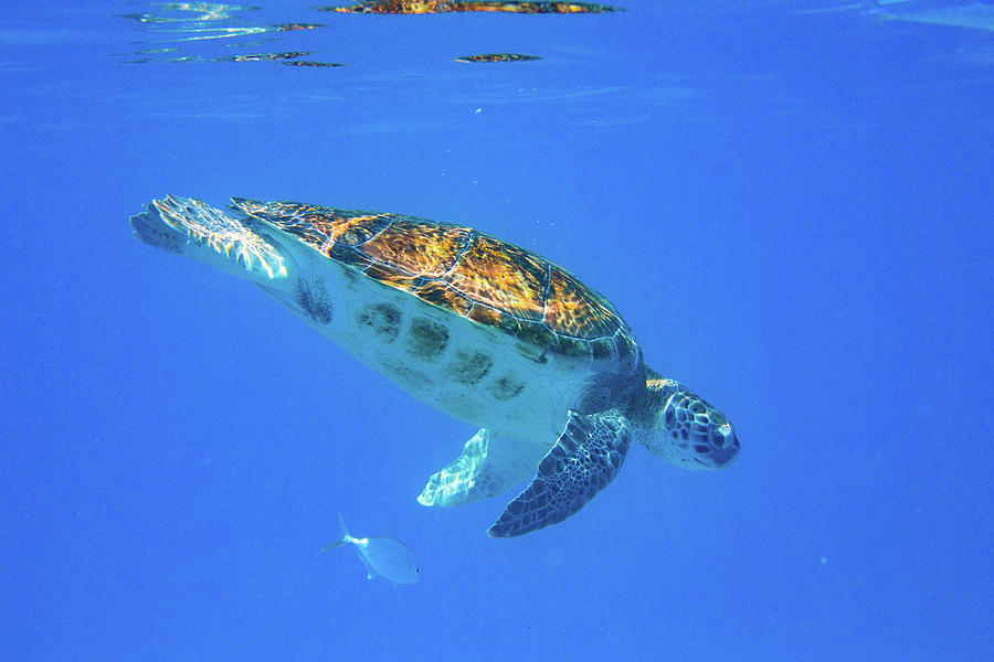 Diving Green Turtle by Mark Hunter