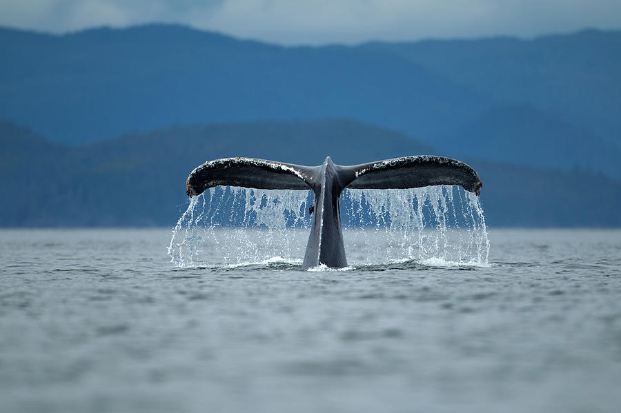 Diving Humpback Whale, Alaska Photograph by Paul Souders