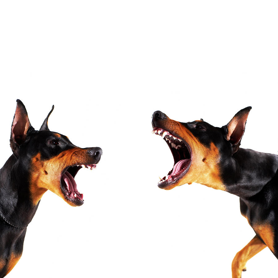 Dobermans Barking At Each Other Photograph by Thomas Northcut