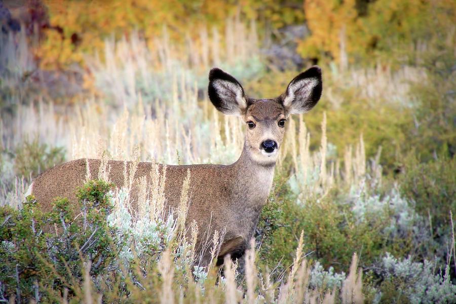 Mule Deer Photograph - Doe Eyes by Donna Kennedy