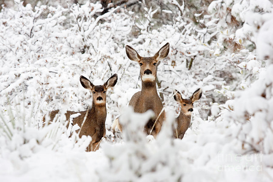 Doe Mule Deer In Snow Photograph