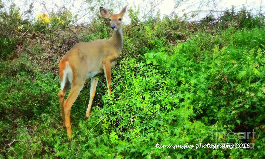 Doe On The Ridge Of Summer by Tami Quigley