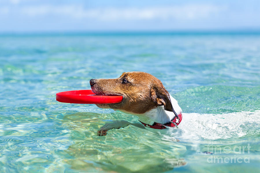 Play Photograph - Dog Catching A Red  Flying Disc by Javier Brosch