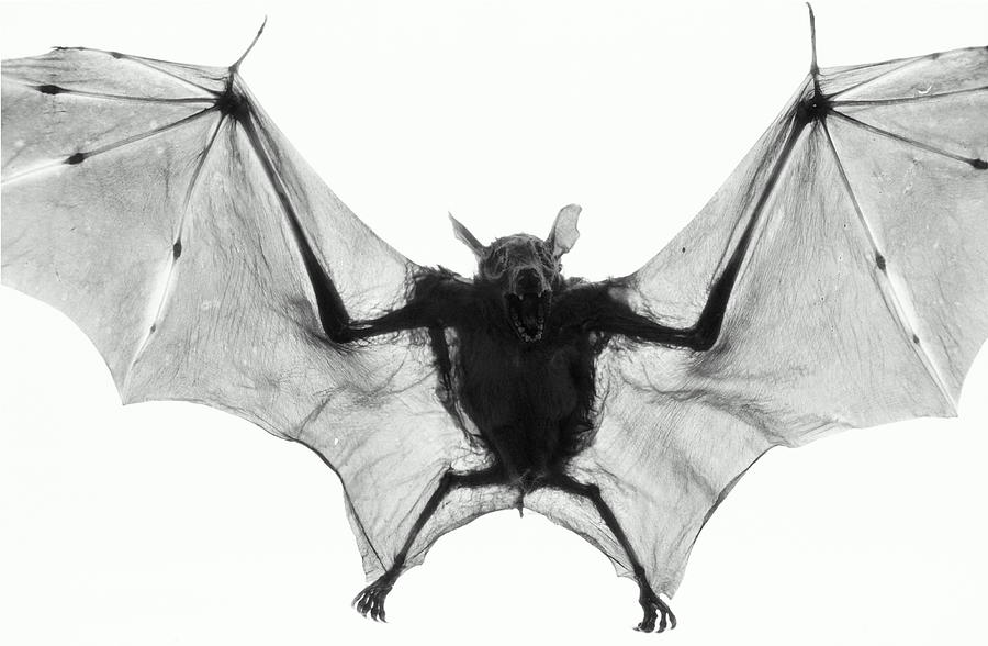 Dog-faced Fruit Bat Cynopterus Photograph by Henry Horenstein