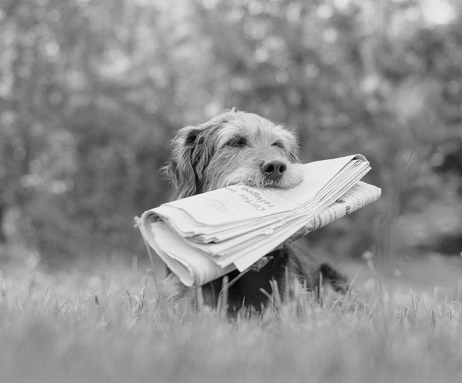 Dog Holding Newspaper Photograph by H. Armstrong Roberts
