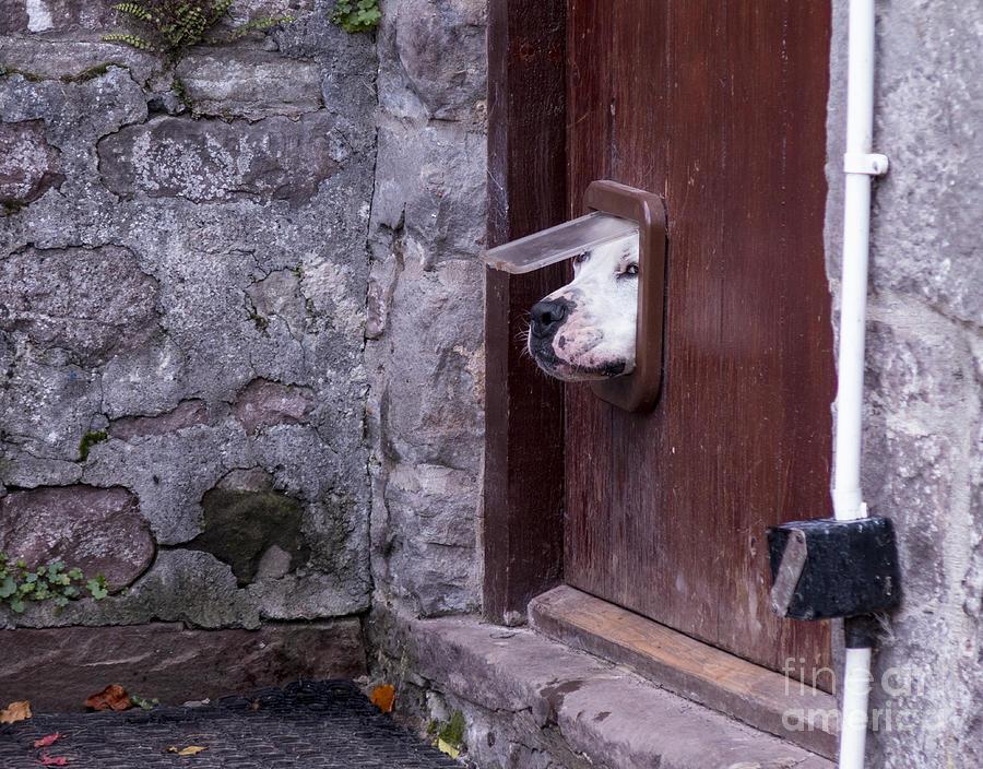 Fur Photograph - Dog Poking Its Head Through A Cat Flap by David Muscroft