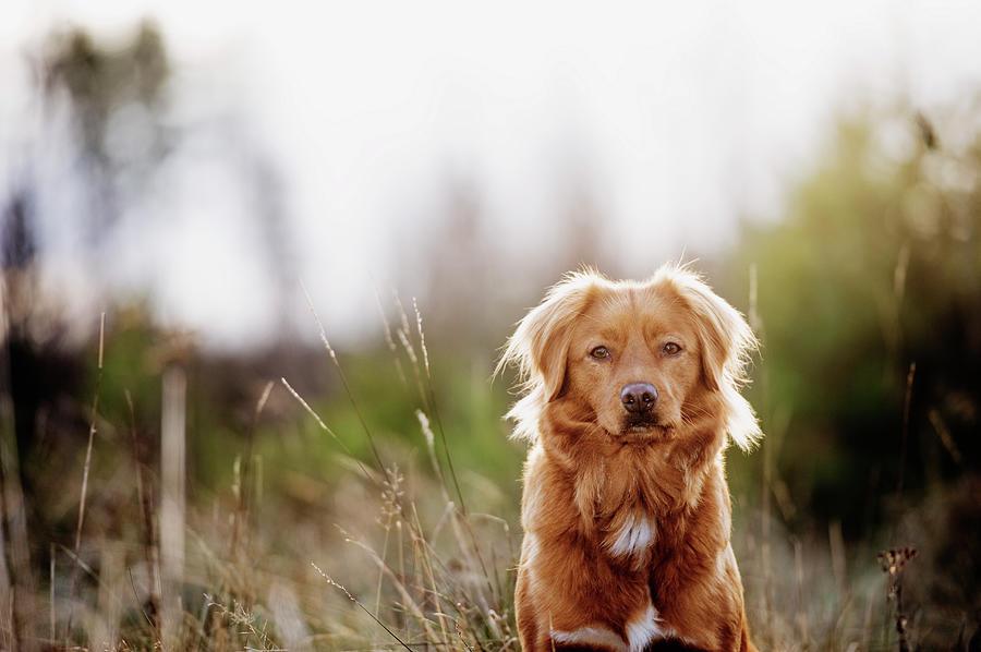 Dog Portrait, Nova Scotia Duck Tolling Photograph by Roine Magnusson