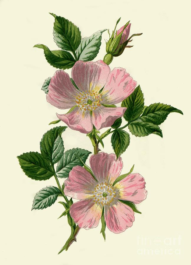 Dog-rose Drawing by Print Collector