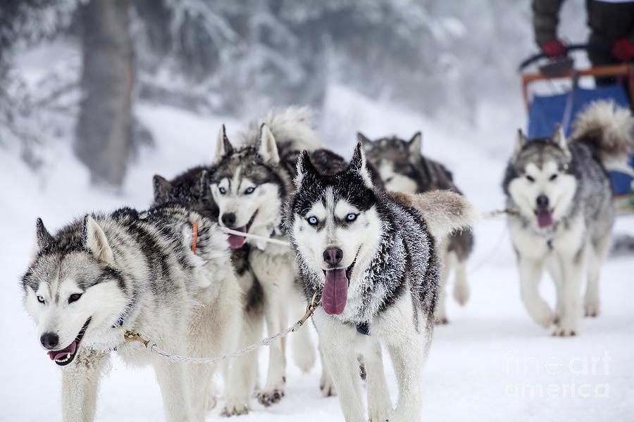 Sleigh Photograph - Dog-sledding With Huskies by Melinda Nagy