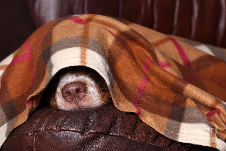Bed Photograph - Dog Sleeps Under The Blanket by Ivanova N