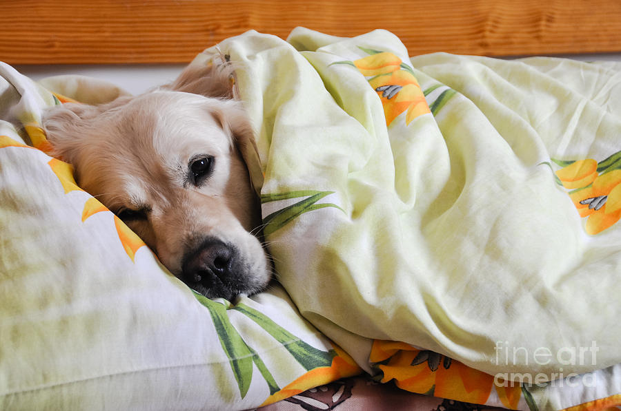 Bed Photograph - Dog Sleeps Under The Blanket by Oleg Itkin