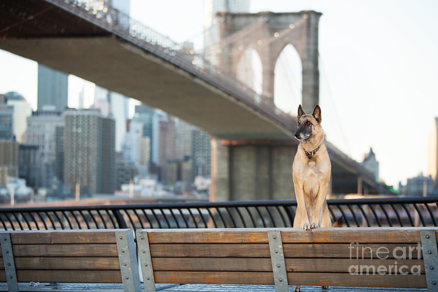 German Photograph - Dog Standing In Front Of Brooklyn by The Dog Photographer