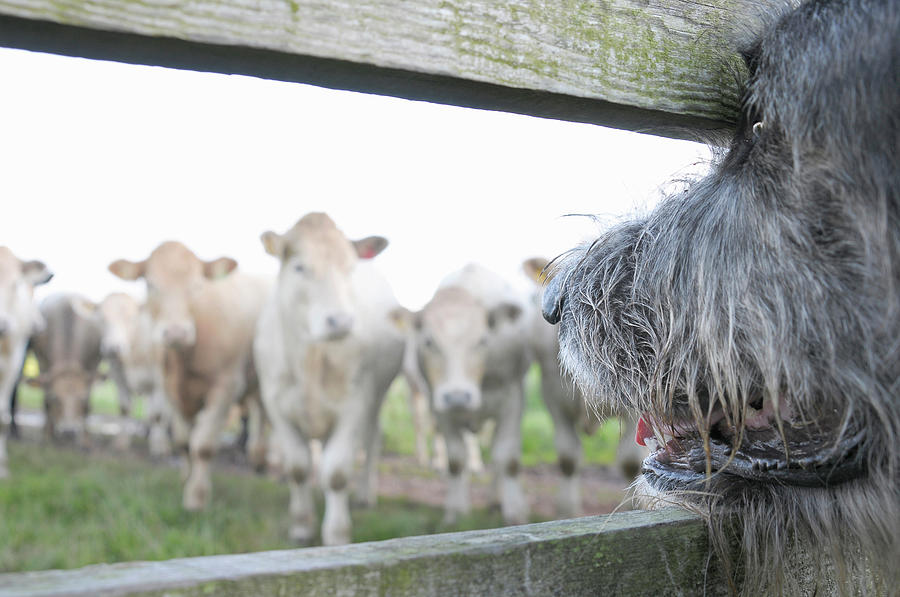 Dog Watching Cows Through Fence Photograph by Cecilia Cartner