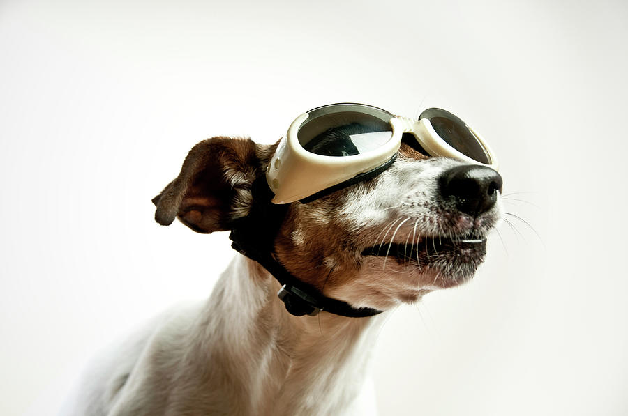 Dog With Sunglasses Photograph by Gollykim