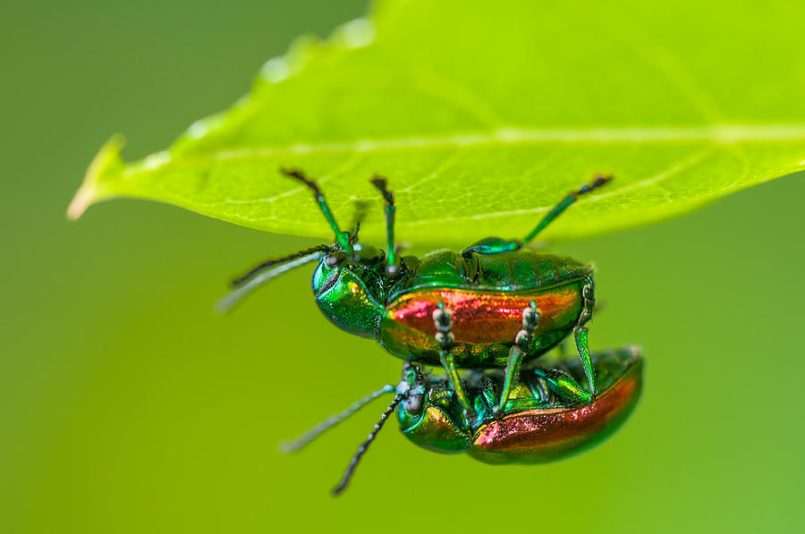 Animal Photograph - Dogbane Leaf Beetles by Michael Lustbader