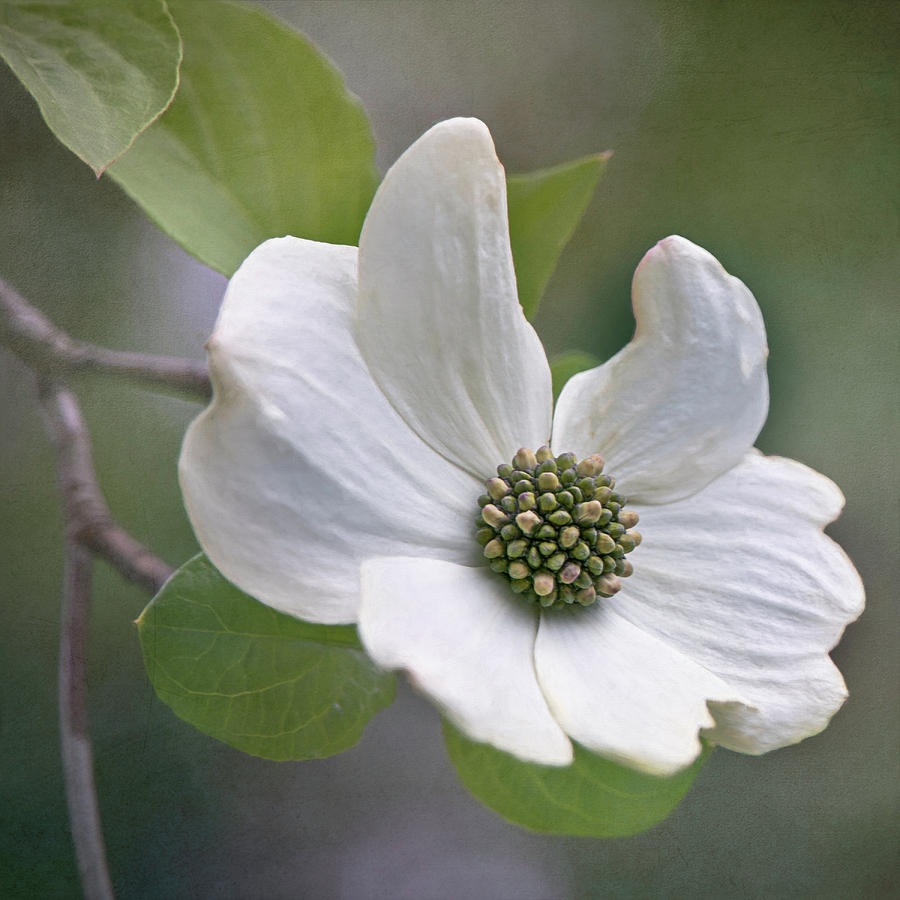 Dogwood Bloom by TL Wilson Photography by Teresa Wilson