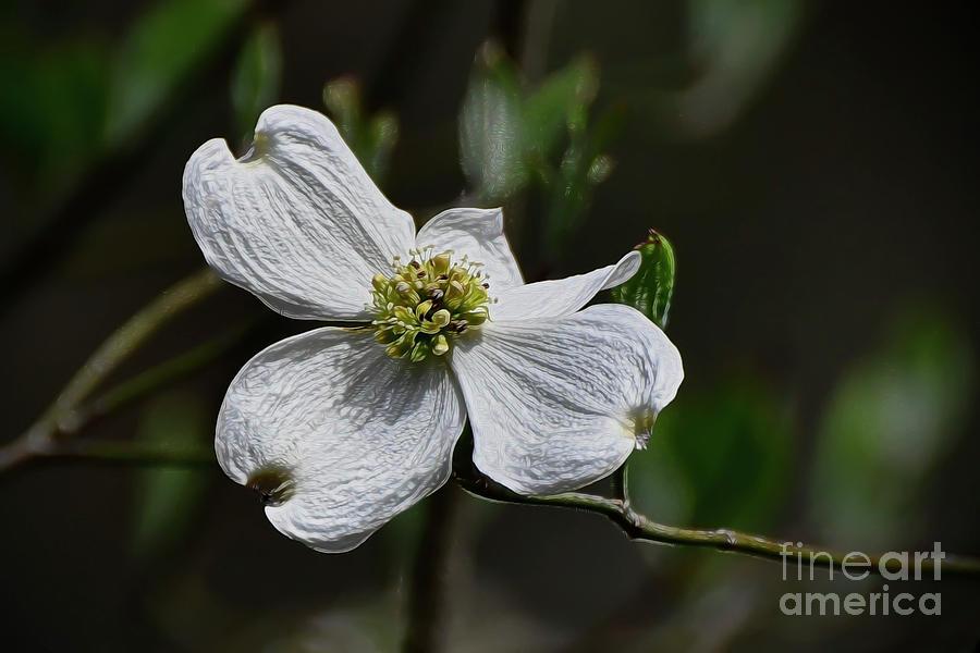 Dogwood Blossom by Kathy Baccari