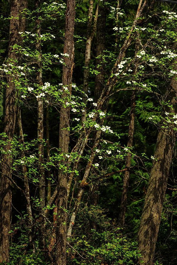 Dogwood Tree Photograph - Dogwood Tree 2 by Mike Penney